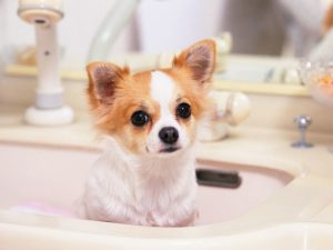 chihuahua in the tub