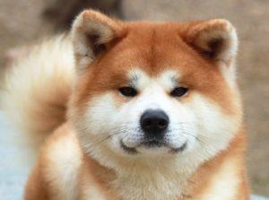 cute akita