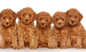 five brown toy poodles