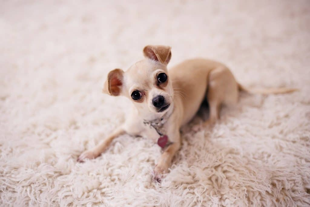 How to get dog pee and urine smells out of carpet: our tips!